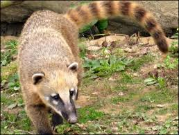 Coati à queue annelée